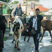 Naprosto standardní situace, po pár dnech už nás krávy nebo ovce na silnici nemohly překvapit :).