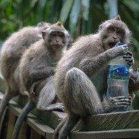 opice jsou pěkně drzé, když si nedáváte pozor, snadno přijdete o pití či brýle