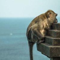 Kolem chrámu je spousta opic