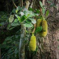 Jack fruit (Žakie) - možná potravina budoucnosti