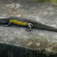 Půlmetrová ještěrka