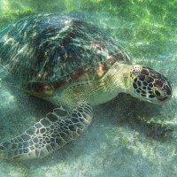Při šnorchlování na Gili ostrovech běžně narazíte na metrové želvy.