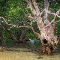 Mangrovy u pláže Kuta