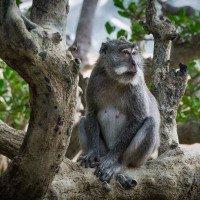 K večeru z pralesa na pláž vylezou opice a hledají co zbylo po lidech